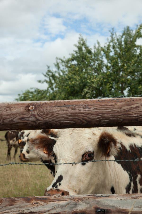 Stado młodzi byki dla hodować, w Normandy, Francja obrazy royalty free