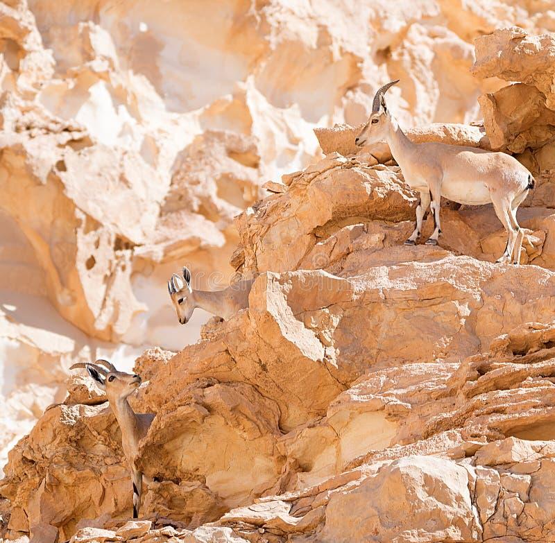 Stado Nubian Ibex w Arava, Negev, Izrael-2 obraz stock