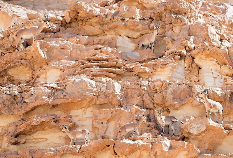 Stado Nubian Ibex w Arava, Negev, Izrael - 3 zdjęcie royalty free
