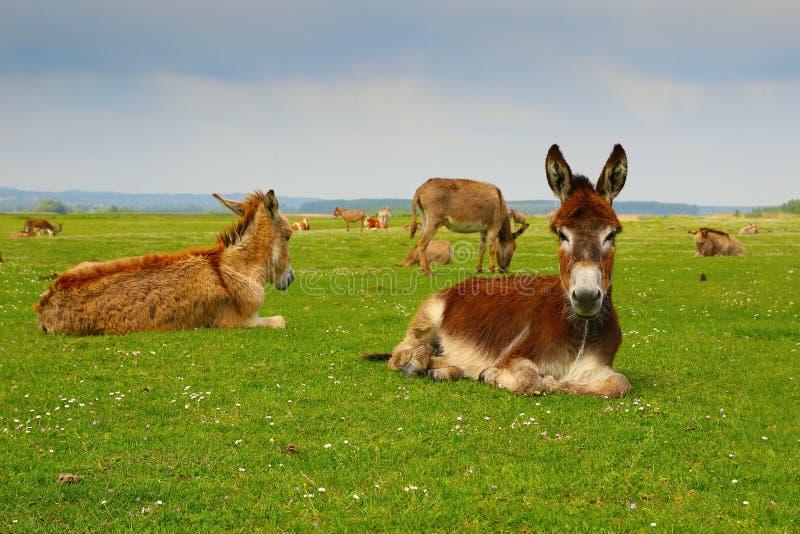 Stado osłów odpoczywać obraz stock