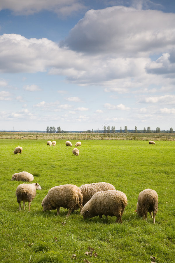 stado owiec obraz stock