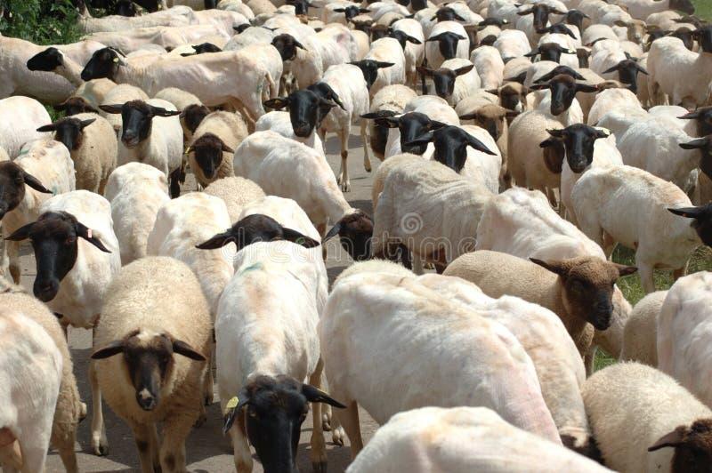 stado owiec obrazy stock