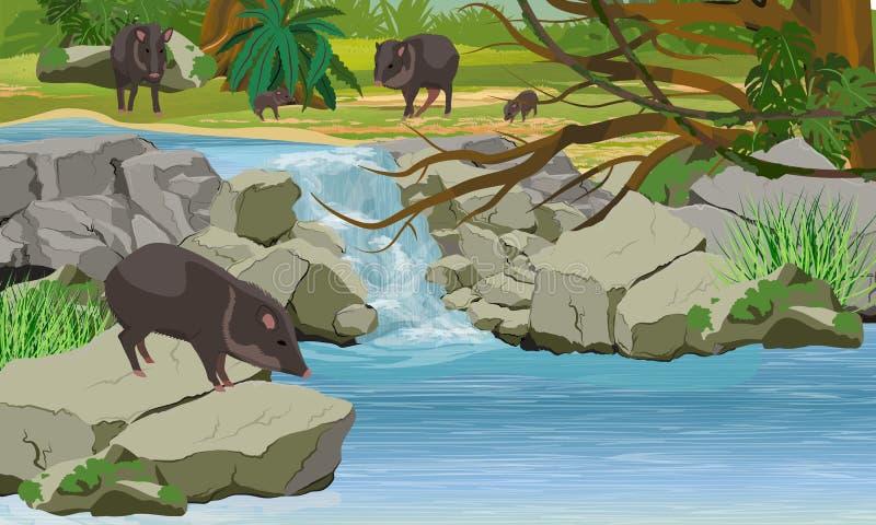 Stado pekari w dżungli Mała siklawa, kamienie, tropikalni drzewa i winogrady, ilustracji