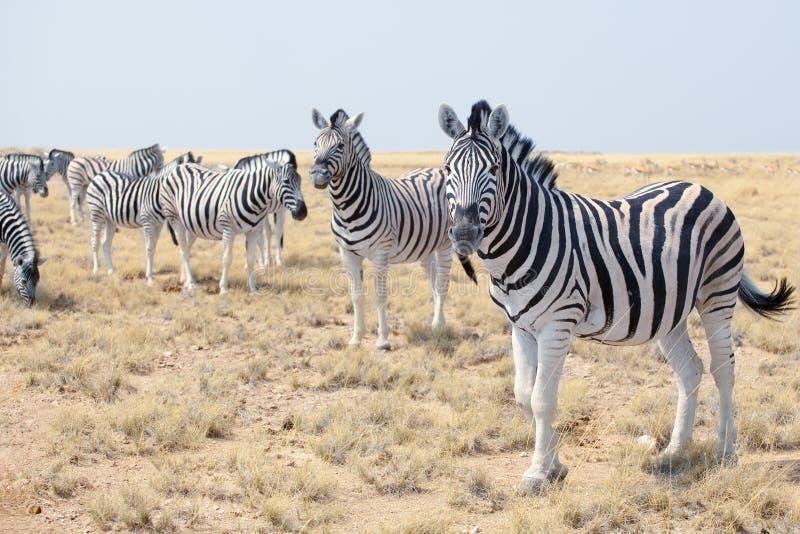 Stado piękne zebry pasa w sawannie na niebieskiego nieba tła zbliżeniu, safari w Etosha parku narodowym, Namibia fotografia stock