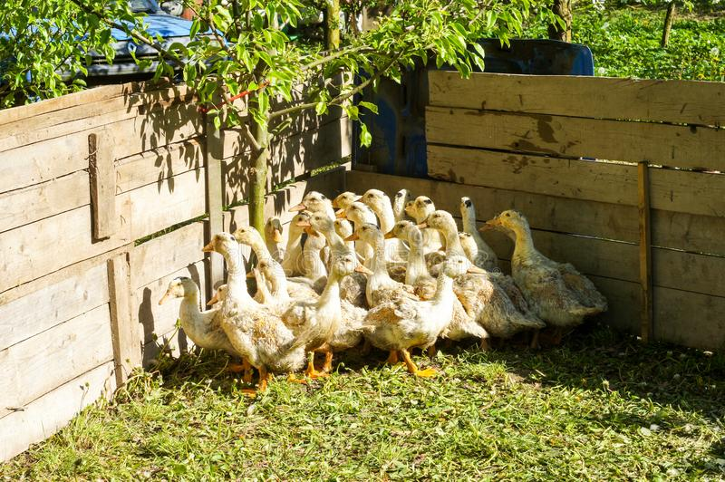 Stado potomstwa nurkuje w naturze w wolierze na letnim dniu zdjęcia stock