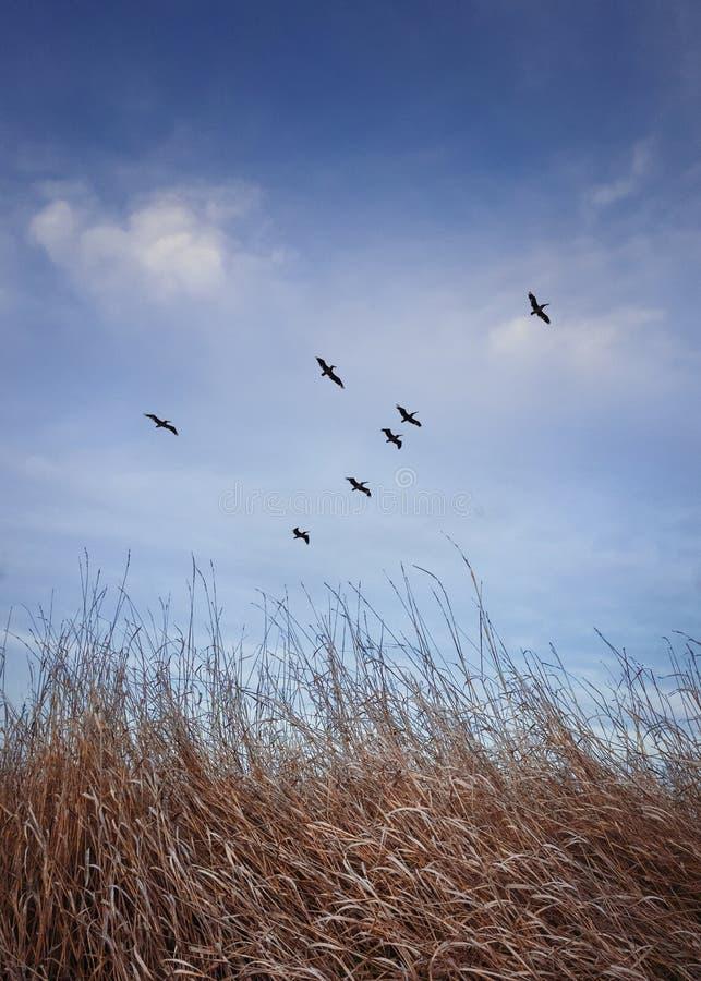 Stado ptaków wędrownych lecących nad łąką z suchą trawą Późna scena jesienna, pionowa kula w naturze z niebieskim obraz stock