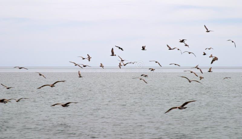 stado ptaka nad morzem zdjęcie stock