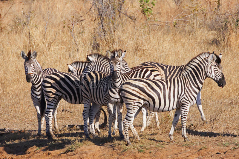 stado raźna zebra zdjęcie royalty free