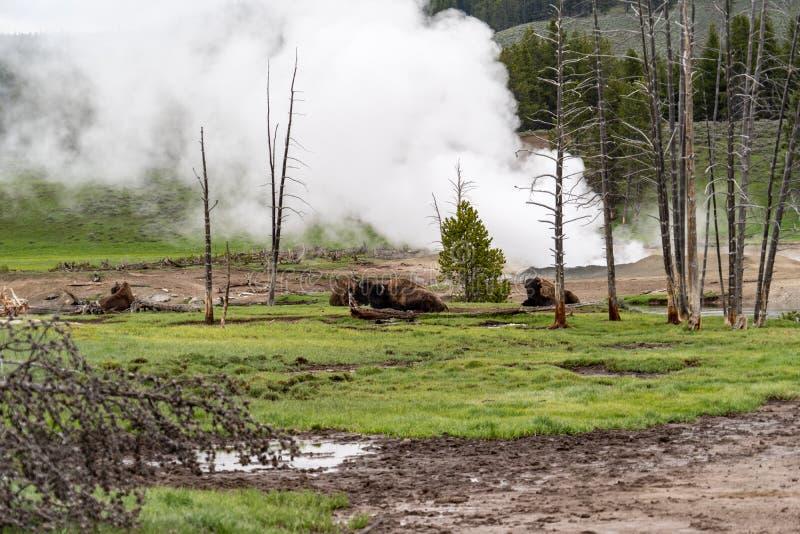 Stado relaksujący i odpoczywa blisko parującego gejzeru wybucha w Yellowstone parku narodowym żubr obrazy stock