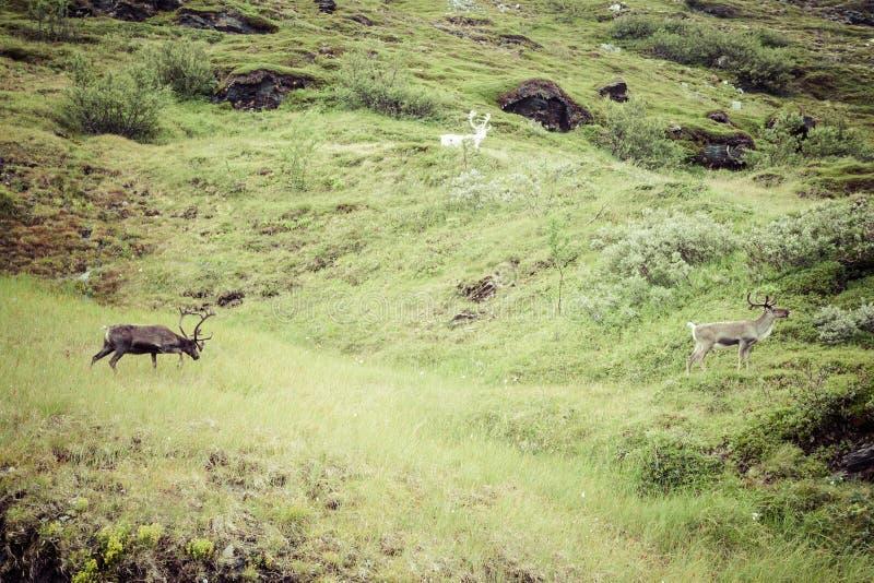 Stado renifer w Norwegia zdjęcie royalty free