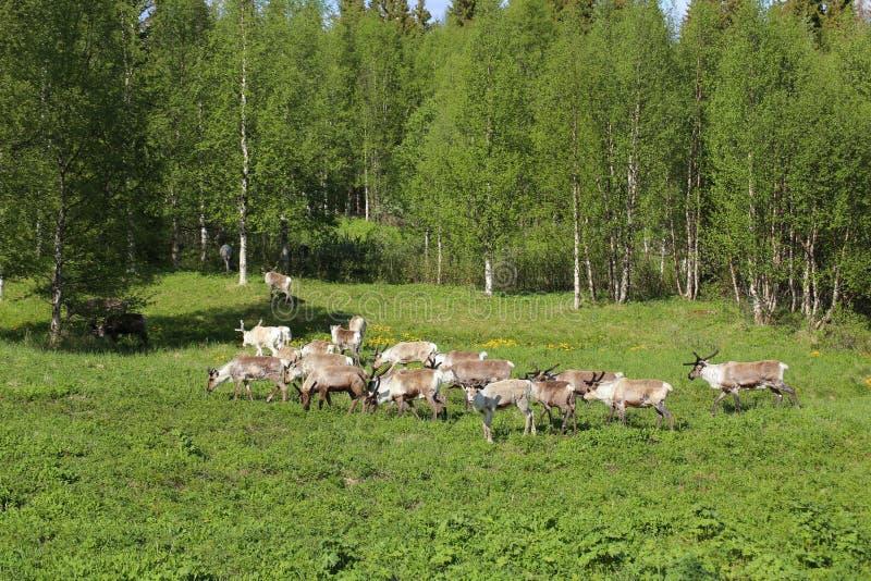 Stado renifery na łące w Szwecja obraz stock