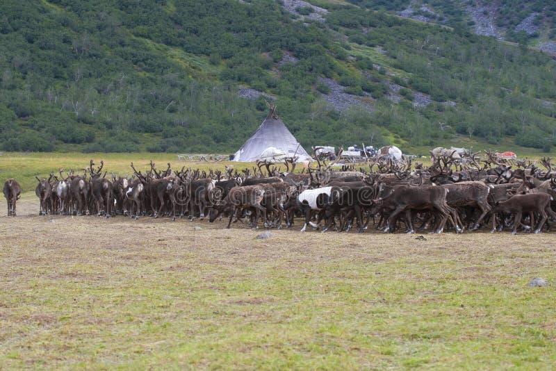 Stado renifery zbliża się ugodę Khanty renifera rozpłodniki Yamal, Rosja fotografia royalty free