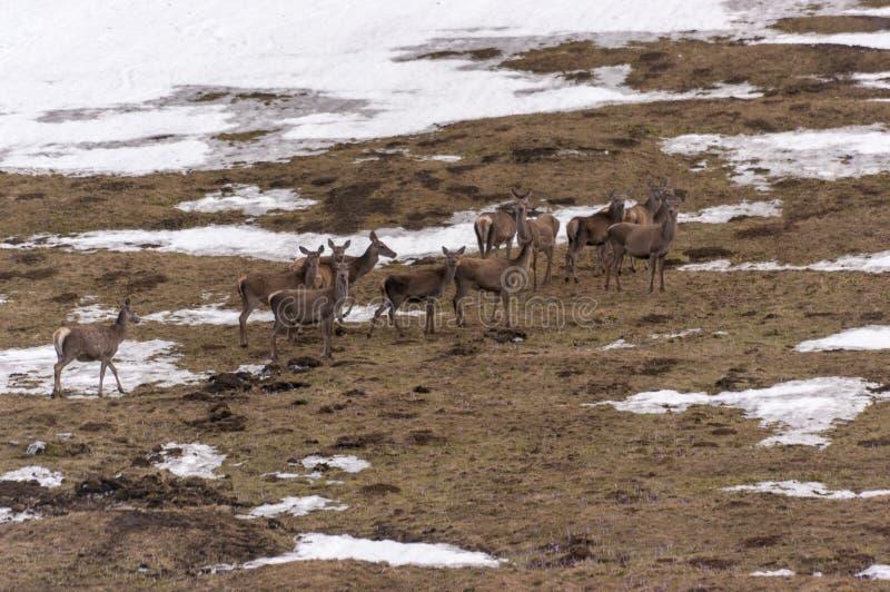 Stado roe rogacz na halnej polanie Zachodni Tatras Polana obrazy stock