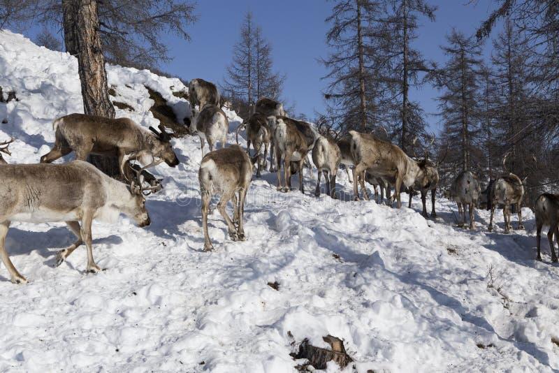 Stado rogacz w śnieżnych drewnach obrazy royalty free