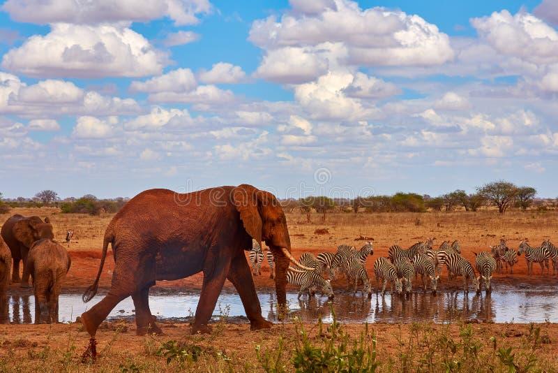 Stado słonie jest niewychowany i ubijanie w safari w Kenya, Afryka Drzewa i trawa obrazy royalty free