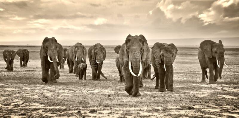 Stado słonie chodzi grupy na Afrykańskiej sawannie przy fotografem fotografia royalty free