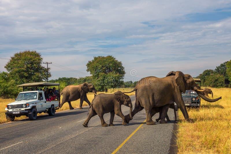 Stado słonie krzyżuje ulicę przed samochodami w Chobe parku narodowym fotografia stock