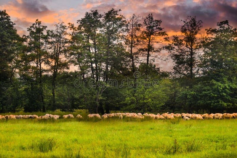 Stado sheeps pasa na zielenieje pole Projektująca akcyjna fotografia z pięknym paśnikiem i sheeps w Rumunia zdjęcia stock