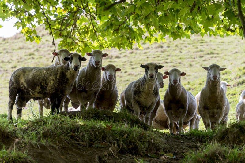 Stado sheeps patrzeje w dół obrazy stock