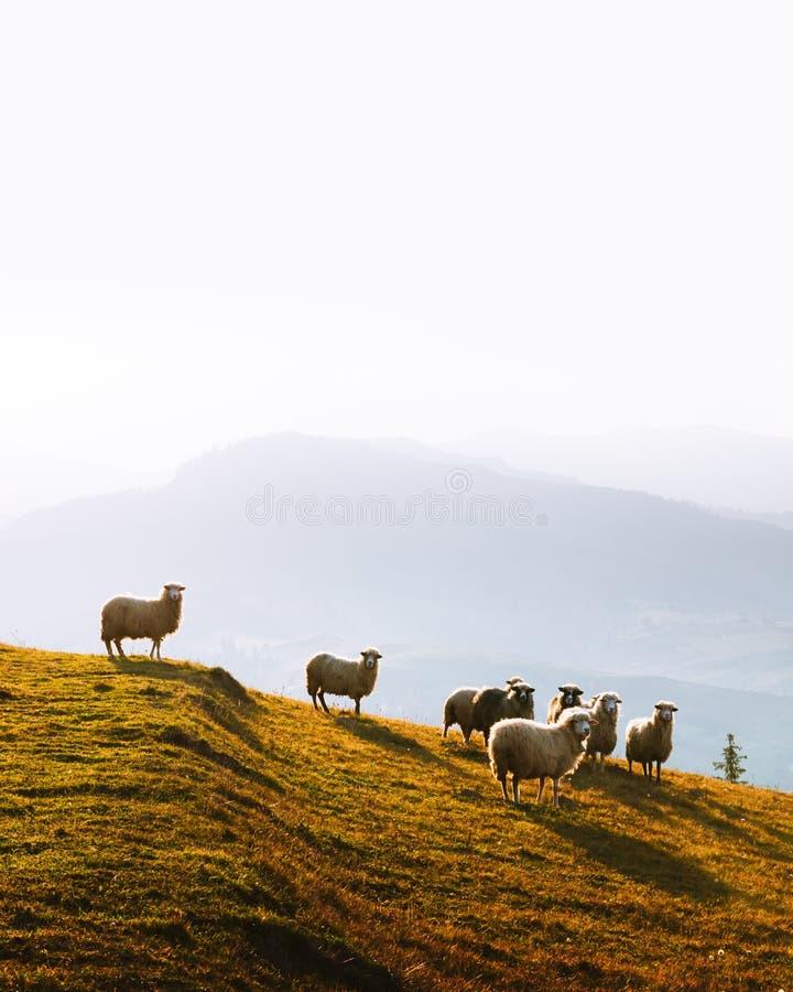 Stado sheeps w jesieni górach fotografia royalty free