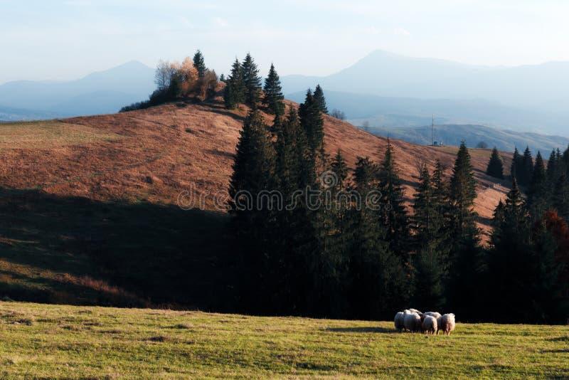Stado sheeps w jesieni górach zdjęcie stock