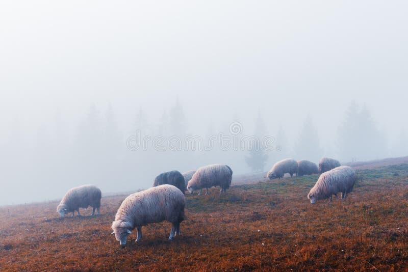 Stado sheeps w jesieni górach zdjęcia stock