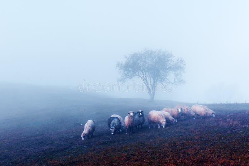 Stado sheeps w jesieni górach obraz royalty free