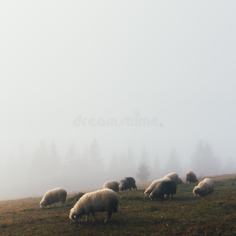 Stado sheeps w wiosen górach obraz stock
