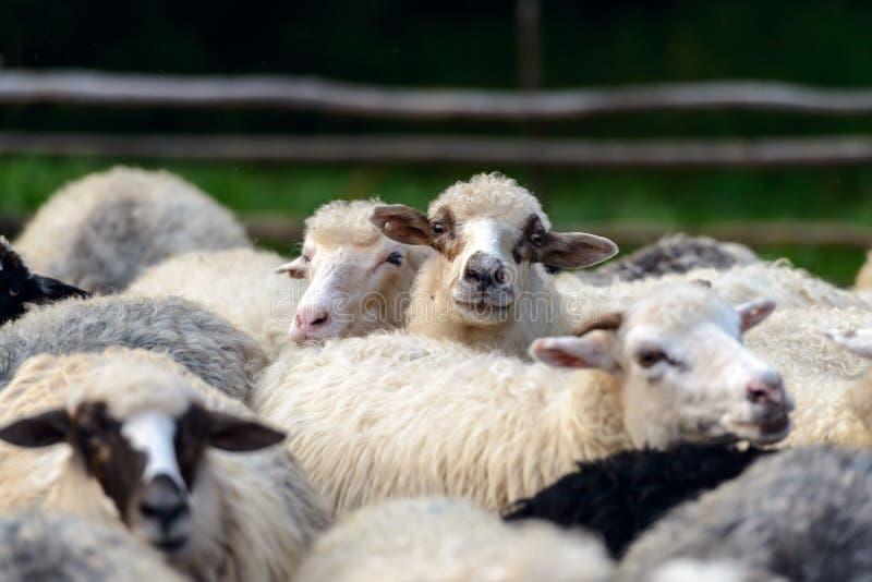 Stado sheeps zbliżenie fotografia stock