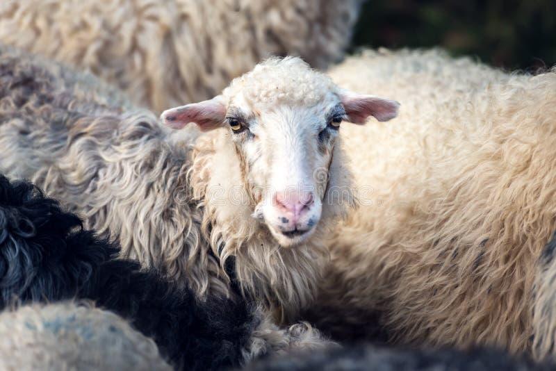 Stado sheeps zbliżenie zdjęcie stock