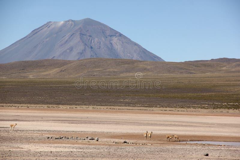 Stado Vicunas na Altiplano fotografia stock