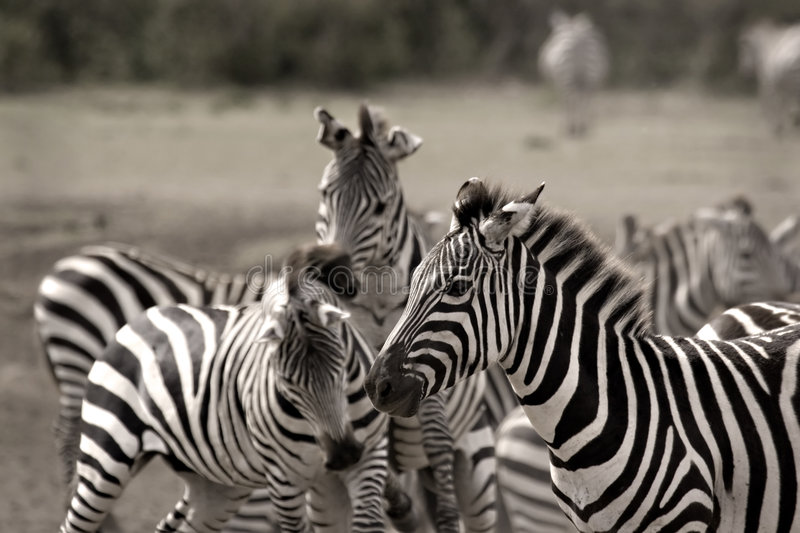 stado zebry zdjęcie stock