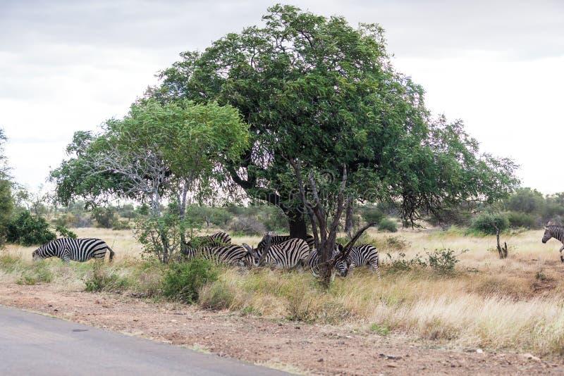 Stado zebry ` s bierze niektóre cień pod zielonym drzewem w Kruger parku, Południowa Afryka obraz royalty free