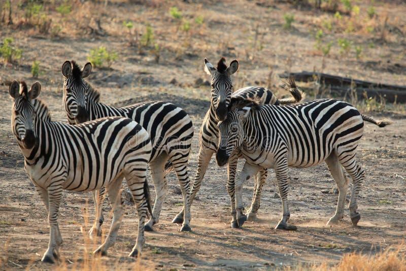 Stado zebry stoi przy świtem w sawannie obrazy royalty free