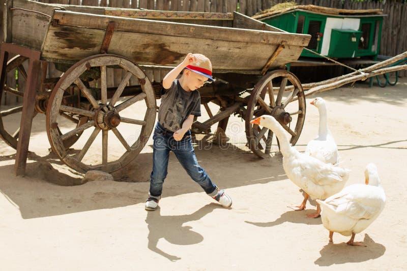 Stads- pojke som spelar och har gyckel med gäss på en lantgård arkivbild