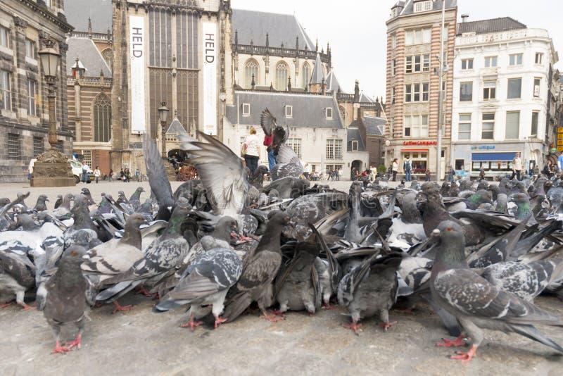 Stadsduif, Feral Pigeon, colomba livia photos stock