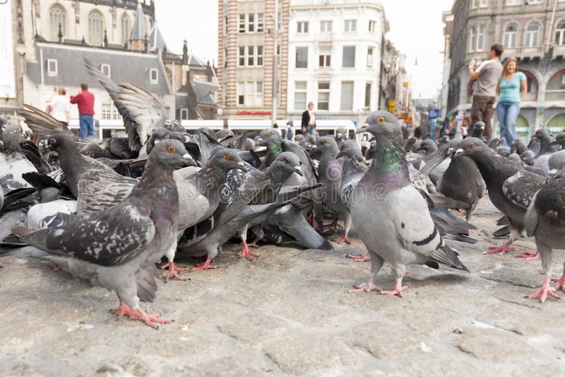 Stadsduif, Feral Pigeon, colomba livia image libre de droits