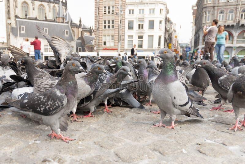 Stadsduif Feral Pigeon, Columba Livia royaltyfri bild