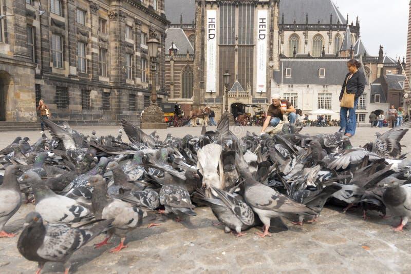 Stadsduif Feral Pigeon, Columba Livia arkivfoton