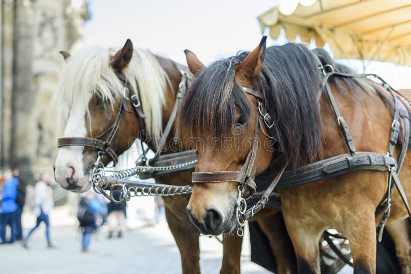 Stadt Dresden Deutschland Sachsen Ein Paar Pferde vorgespannt zu einem Wagen stockfoto