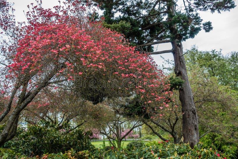 Stadt-Park-Hartriegel-Baum lizenzfreie stockfotografie