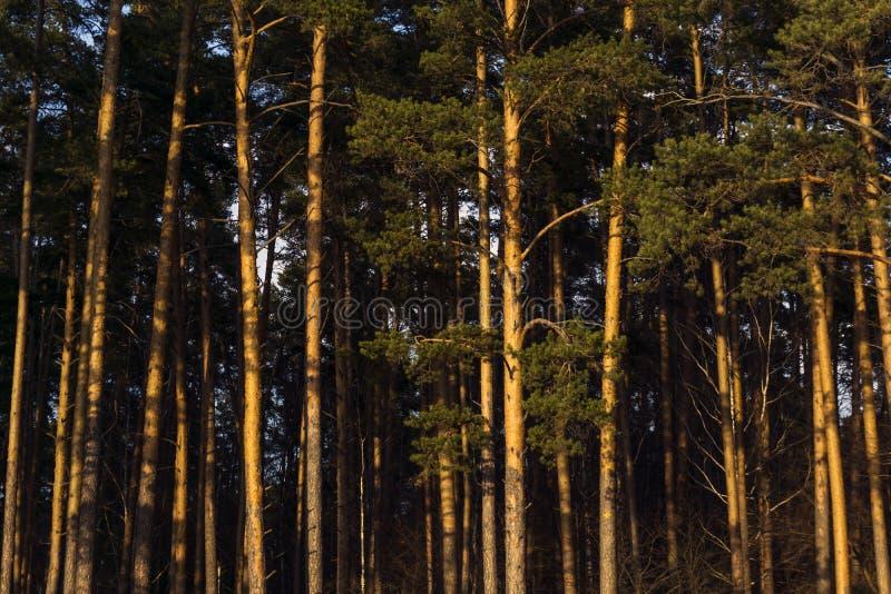 Stadtrände eines dunklen Waldes, beleuchtet durch die Strahlen der untergehenden Sonne lizenzfreie stockbilder