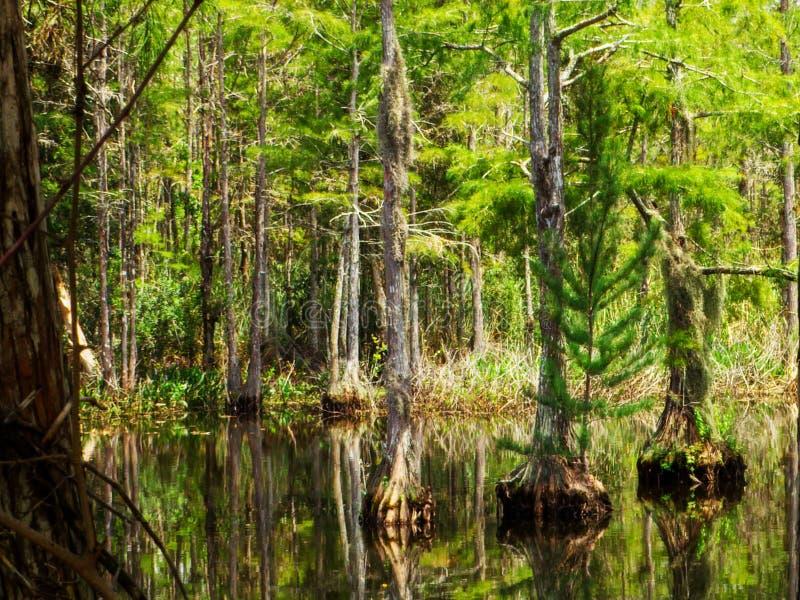 Staffa magica di alberi da cimici in una palude di Everglades immagini stock