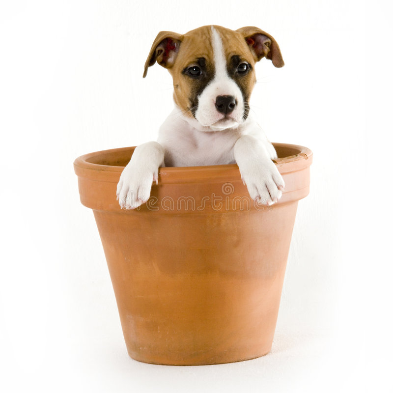 Stafford puppy. Cute puppy stock images