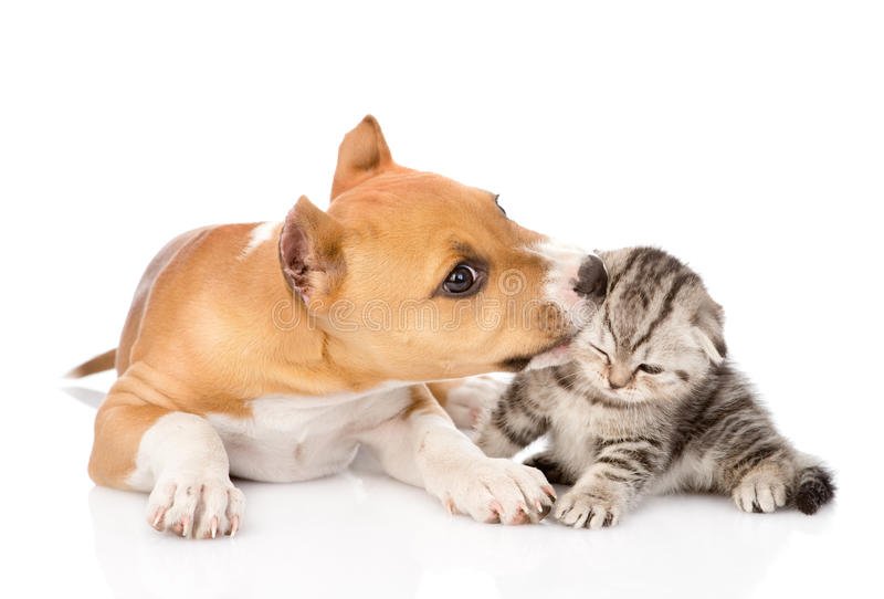 Stafford puppy biting little tabby kitten. isolated on white stock photography