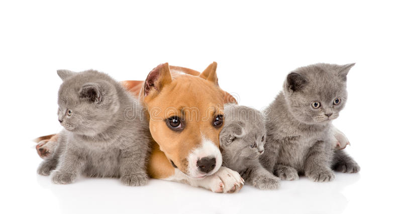 Stafford puppy and three kittens lying together. on whi. Te stock photo