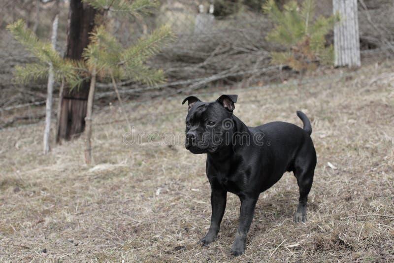 Staffordshire Bull terrier zdjęcia stock