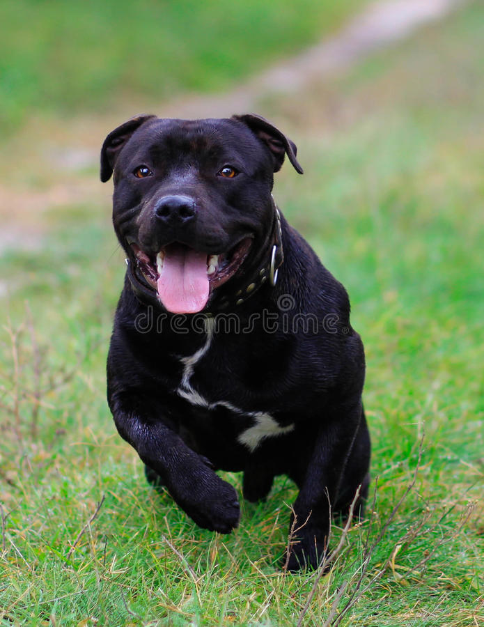 Staffordshire bull terrier stock foto's