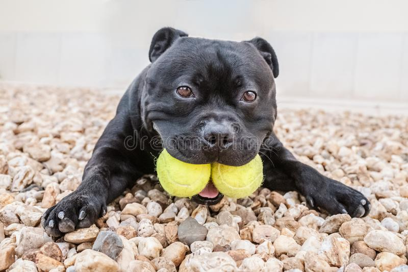 Staffordshire Bull Terrier dog holding two tennis balls in his mouth. He is lying on the ground looking at the camera royalty free stock images