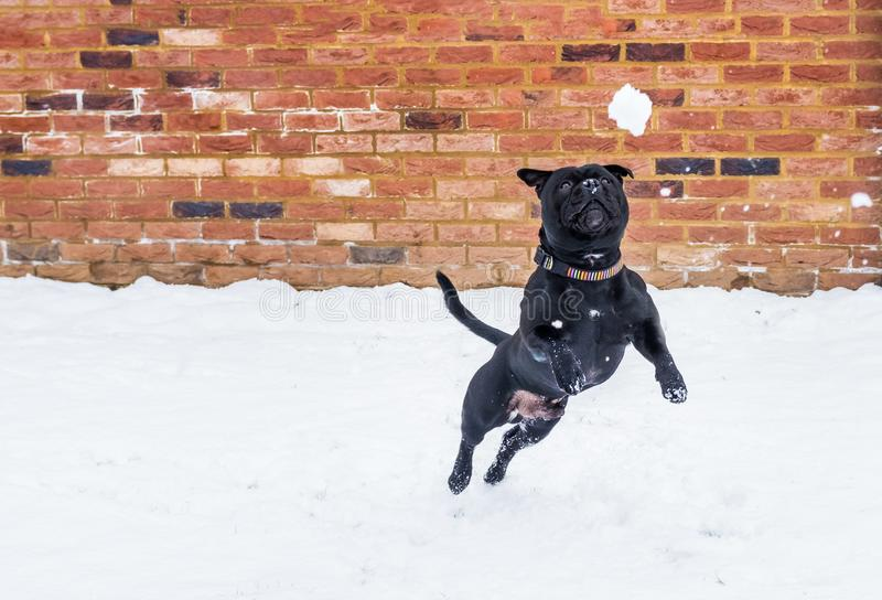 Staffordshire bull terrier dog leaping to a snowball royalty free stock image